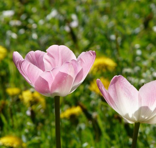 Blumensamen, Tulpen, Rosen, Lilien, Begonien, Fressia, Canna , otanische Tulpen, Einfache frühe Tulpen, Triumpf Tulpe, Darwin Hybrid Tulpe, Lilienblütige Tulpe, Rembrand Tulpe