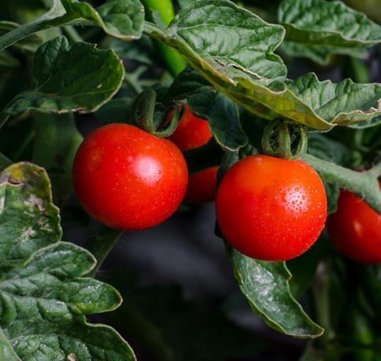 Tomatensamen, Tomaten anpflanzen
